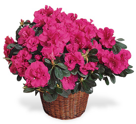 <b>Azalea Plant</b> from Scott's House of Flowers in Lawton, OK
