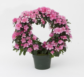 <b>Azalea Hoop</b> from Scott's House of Flowers in Lawton, OK