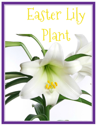 Easter Lily from Scott's House of Flowers in Lawton, OK