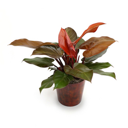 <b>Hybrid Philodendron</b> from Scott's House of Flowers in Lawton, OK