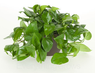 Pothos Ivy  from Scott's House of Flowers in Lawton, OK