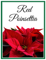 Red Poinsettia from Scott's House of Flowers in Lawton, OK