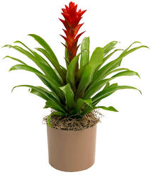 <b>Bromeliad Guzmania</b> from Scott's House of Flowers in Lawton, OK