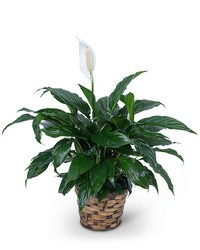 Peace Lily Plant from Scott's House of Flowers in Lawton, OK