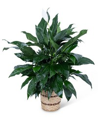 Medium Peace Lily Plant from Scott's House of Flowers in Lawton, OK