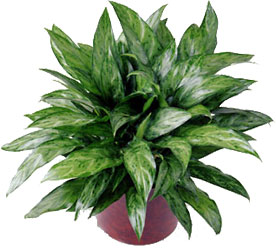 <b>Chinese Evergreen</b> from Scott's House of Flowers in Lawton, OK