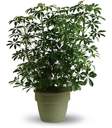 <b>Hawaiian Schefflera</b> from Scott's House of Flowers in Lawton, OK
