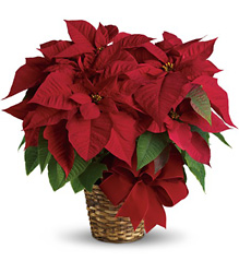 <b>Poinsettia Plants</b>