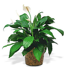 <b>Peace Lily</b> from Scott's House of Flowers in Lawton, OK