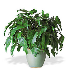 <b>Xanadu Philodendron</b> from Scott's House of Flowers in Lawton, OK